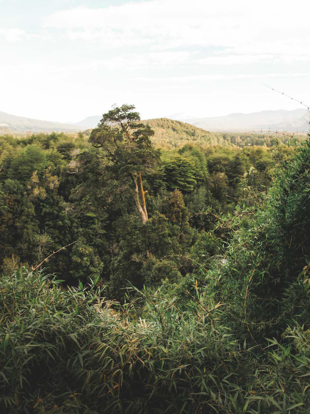 chilenischer Regenwald